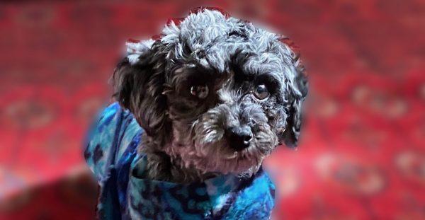 Black poodle image