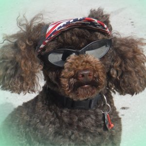 Brown poodle with sunglasses and sun hat image